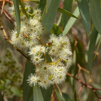 Flower of Eucalyptus largiflorens or Black Box