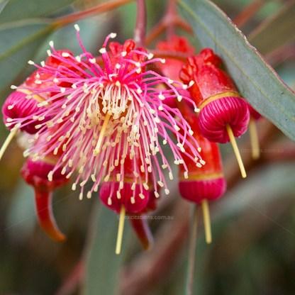 Coral Gum flower close-up.