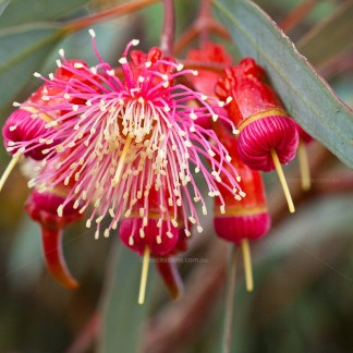 Coral Gum flower close-up.