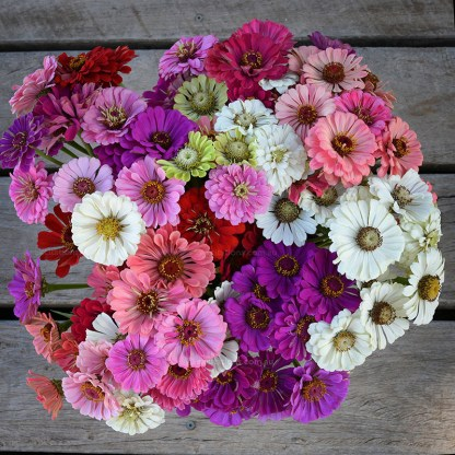 Lookinig down on a bucket full of Zinnia Flowers for sale Mildura.