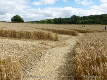 Cley Hill, Nr. Warminster, Wiltshire. 30 July 2016. Wheat. c.140 feet (43 m) A circular 'flower motif' with 20 petal-like shapes.