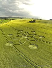 Fonthill Down, Nr Chicklade, Wiltshire. 30th May 2017. Barley. c. 130 feet (40m) diameter. copyright Mat Stainton. Six petalled motif. Extended arc of petals terminate in a disc.