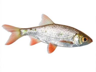 Rotfeder, Zierfisch für Teich