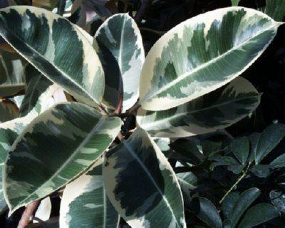 200mm Ficus Tineke