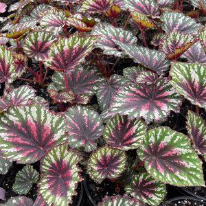 Begonia T-Rex Painter's Palette The Plant Lounge