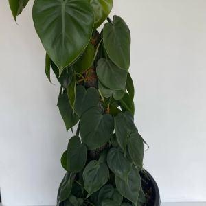 Philodendron Cordatum Totem
