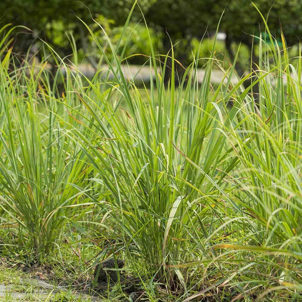 Lemongrass-Scent