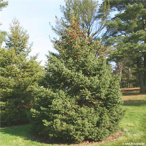 White Spruce Tree On The Tree Guide At Arborday Org