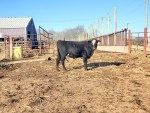 16 Month Old Bull