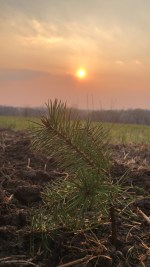 Sunsetting over a Christmas tree seedling.