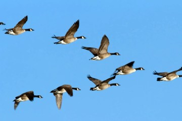 Geese flying a V formation