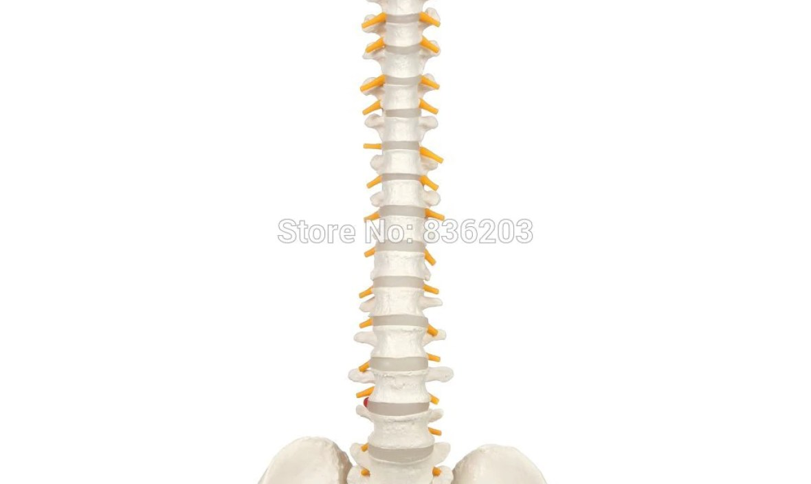 Human 80cm Flexible Spine Model with Pelvis skeleton Anatomical surgical anatomical traumatic pistols condoms medical instrument