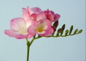 Freesia Stem. Photo via PerfumeShrine.Blogspot.com.