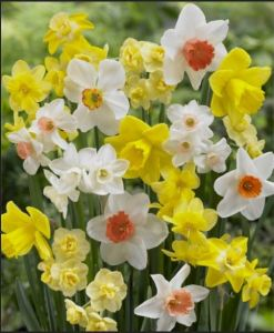 Just a Few Possibilities in Narcissus Shapes and Colors...Note Narcissus and Daffodils are From the Same Family but They Are Not All Fragrant.