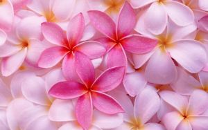 Plumeria Flowers. Photo from HDWallpapers.in.