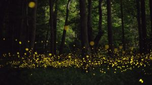 "Fireflies are the pretty exception to the ""No Fire, No Pest"" rule."