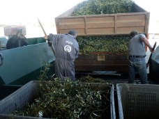 oliveira-da-serra-mostra-como-se-faz-azeite-na-herdade-do-marmelo_8