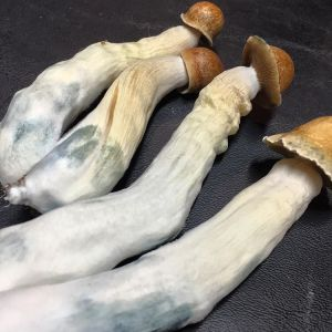 PENIS ENVY MUSHROOMS