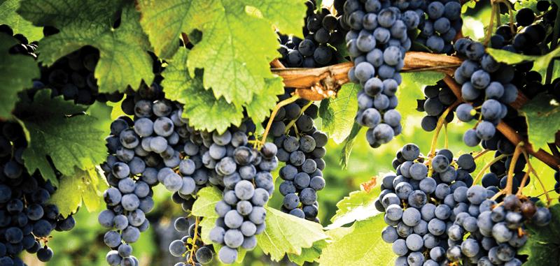 """Một ký hiệu của Pháp, từ """"Pinot"""" được dịch là """"Thông"""", là một tham chiếu đến cách các chùm nho kết hợp"""