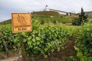 """Sauvignon Blanc là một loại rượu vang trắng phổ biến và không thể nhầm lẫn được vì hương vị thảo mộc """"xanh"""""""