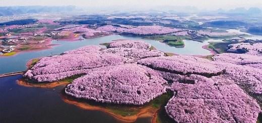 В Китае расцвели вишни