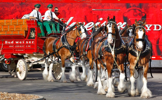 The visiting Budweiser Clydesdale horses parade around the parking lot at the Anheuser-Busch Fairfield Brewery, Sunday, Jan. 11, 2015, in Fairfield. Patrons were treated to photo opportunities with the horses and samples of Budweiser beer at the event. (Steve Reczkowski/Daily Republic)