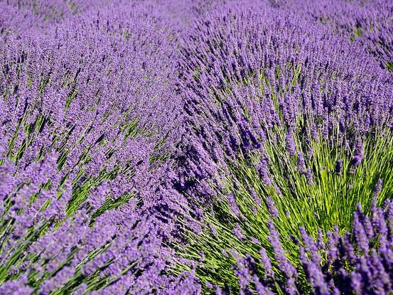 Lavender article photo by Karen Blaha