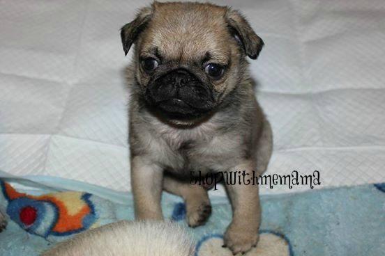 baby pug puppy