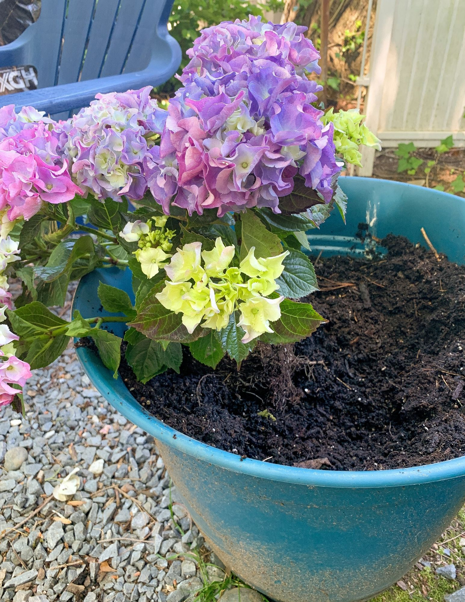 How to Plant Hydrangeas in Pots-17
