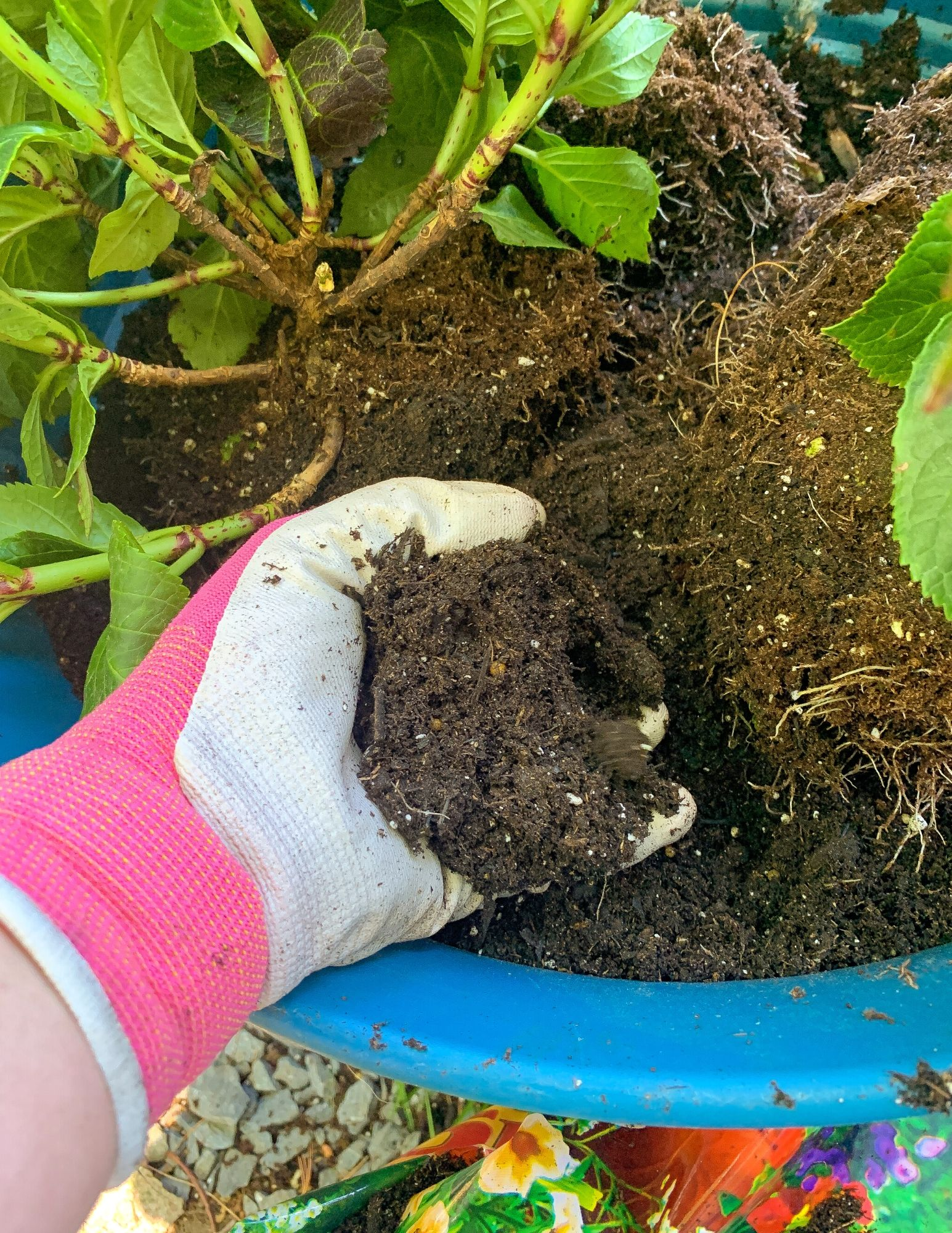How to Plant Hydrangeas in Pots-19