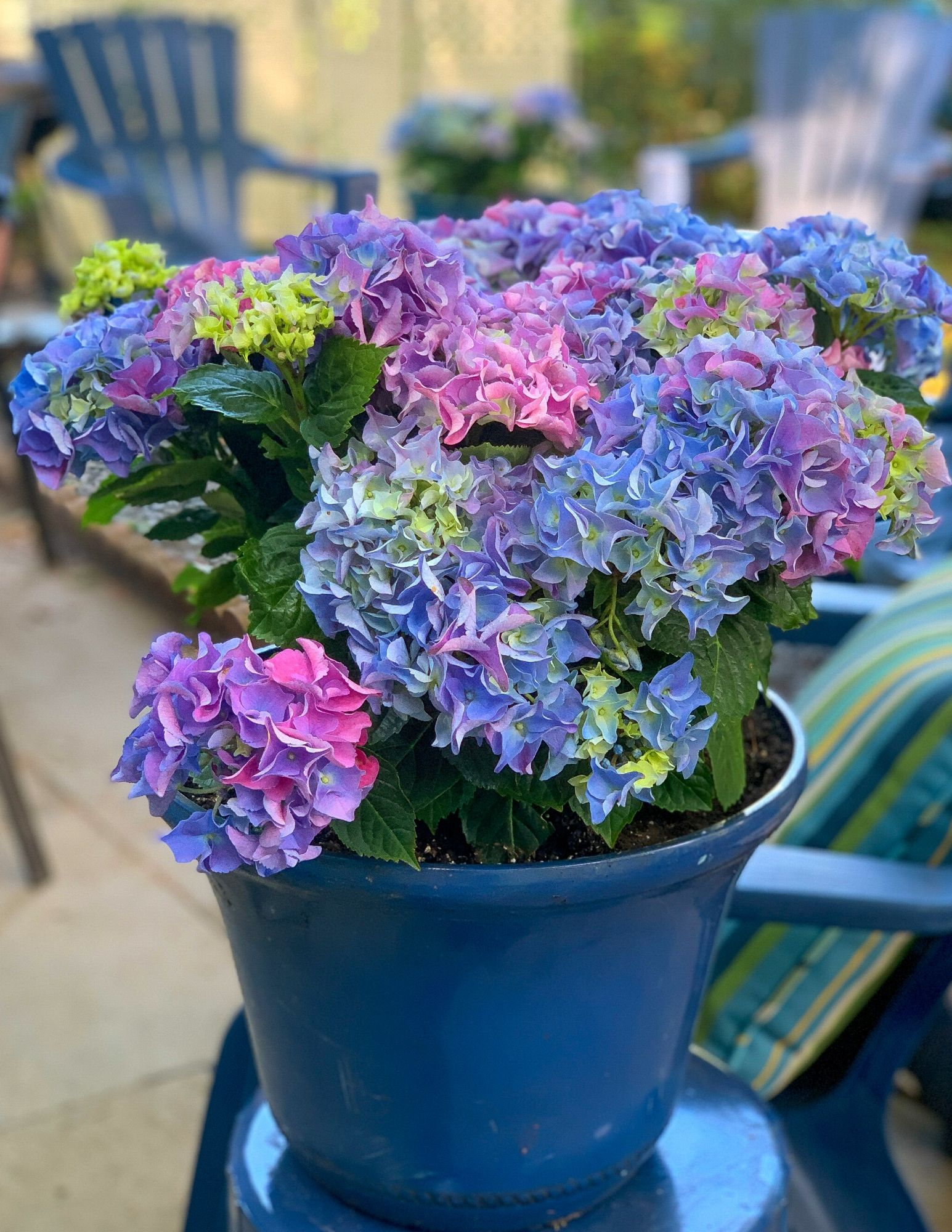 How to Plant Hydrangeas in Pots-25