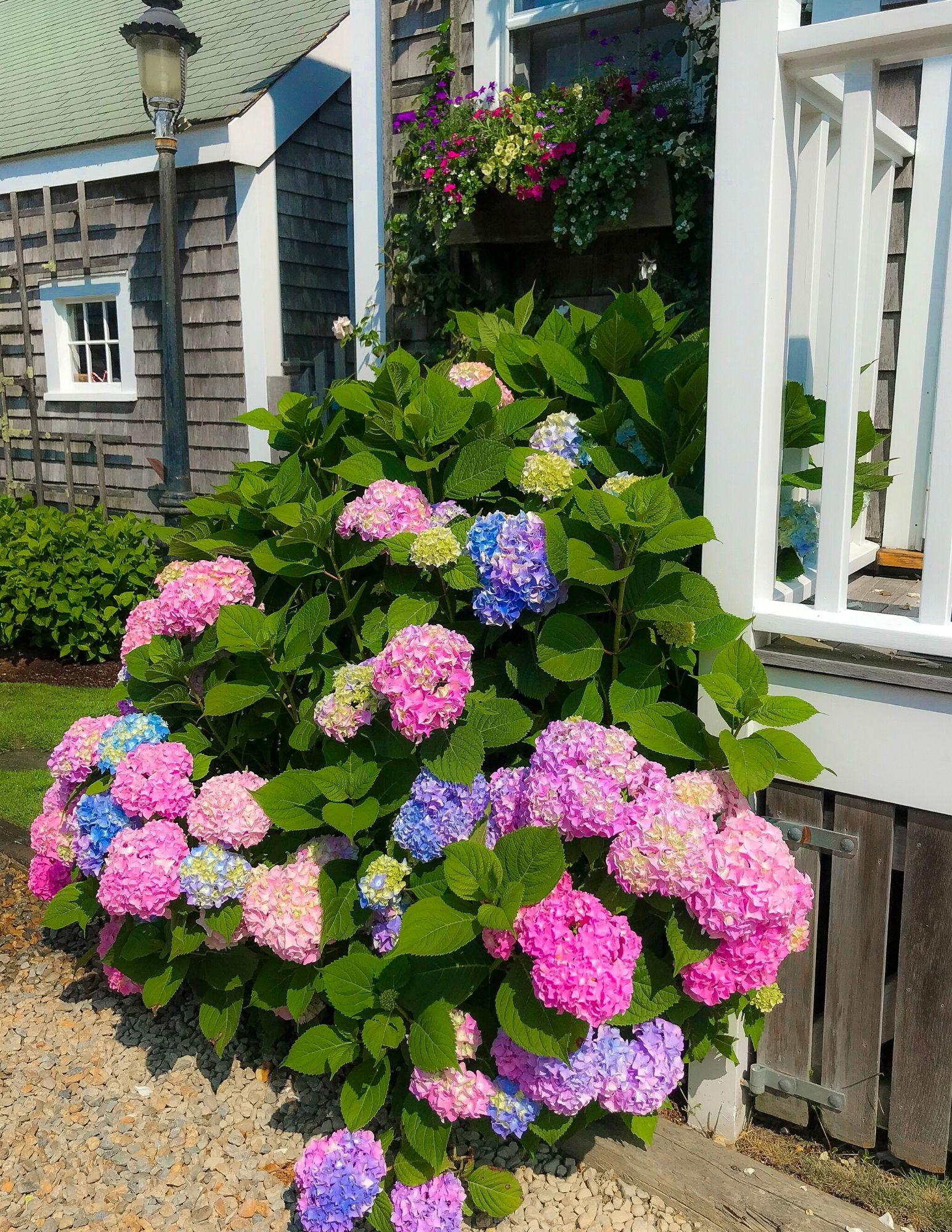 Nantucket Hydrangeas-25