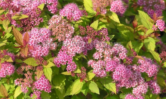 Magic Carpet Spiraea