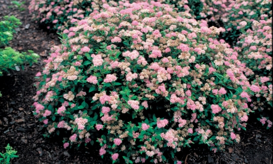 Little Princess Spiraea