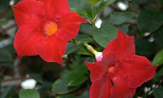 Red Riding Hood Mandevilla