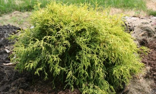 Sungold Thread-Branch False Cypress