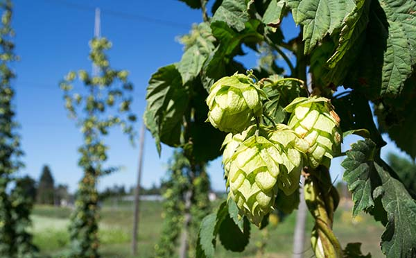 Hops of some type, probably not Citra