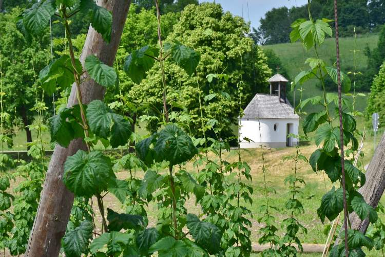 Everything you might care to know about Simcoe hops