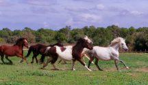 Caballos y ponis S'Hort Vell (vida en manada)