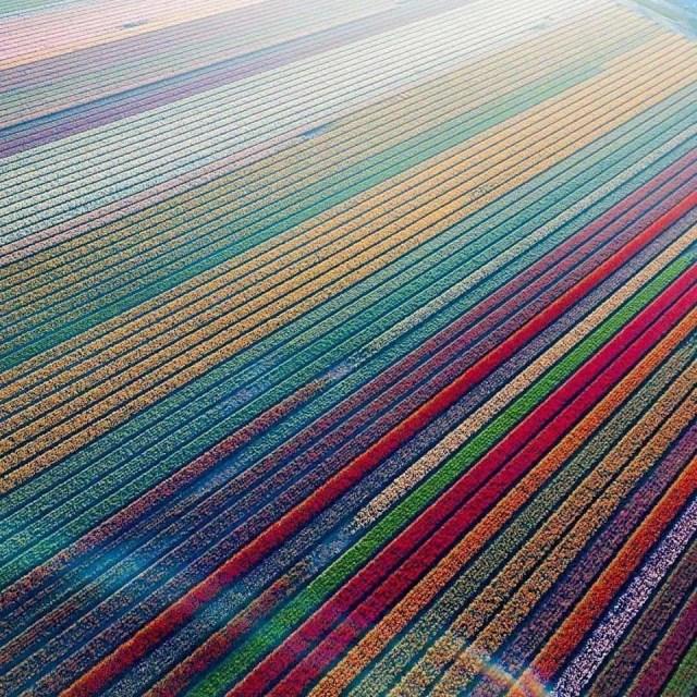 Tulip fields in Lisse, Netherlands