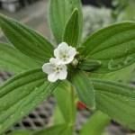 ニホンムラサキの花。