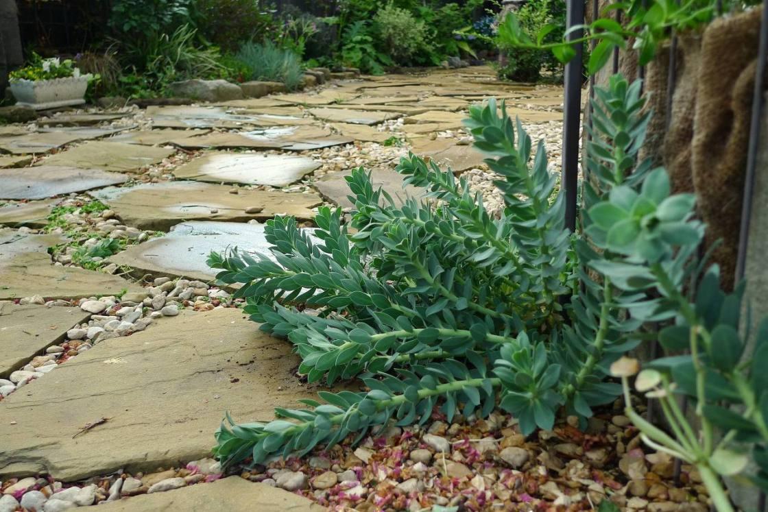 こぼれ種で増えたユーフォルビア・ミルシニテスの植栽風景。