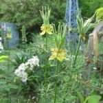 黄色い花のニゲラの画像です。