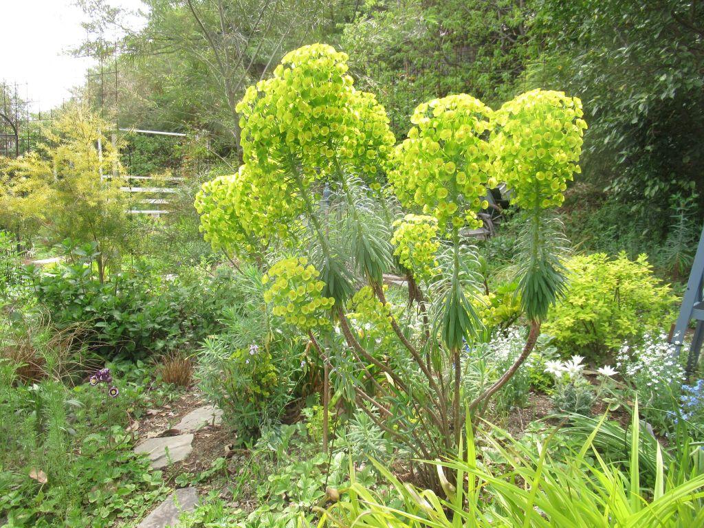 ユーフォルビア カラキアスの植栽風景