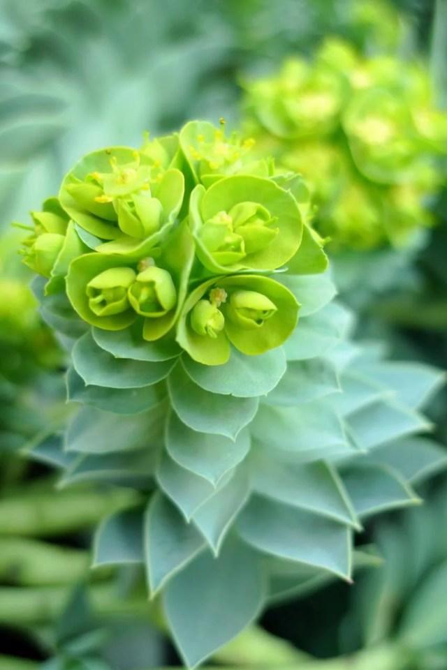 ユーフォルビア・ミルシニテスの花の画像です。