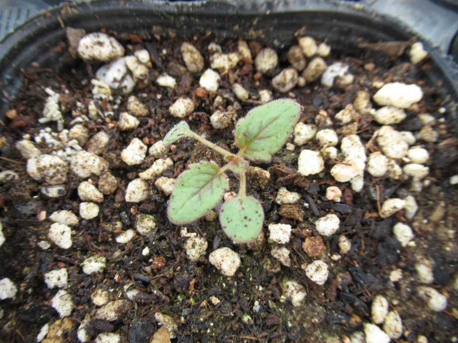 発芽したばかりのファセリア・カンパヌラリア。