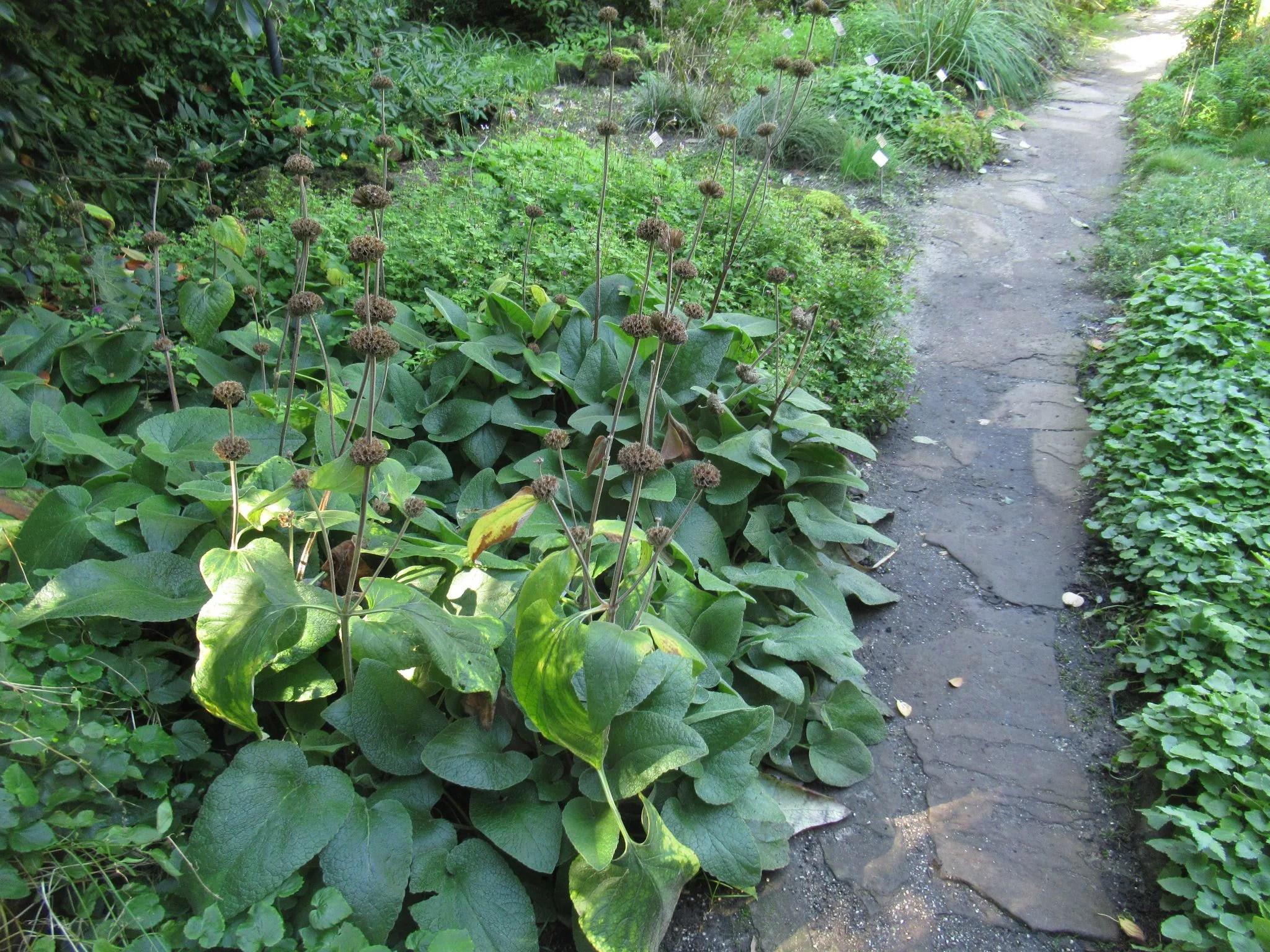 フロミス・サミアを植えるのに良い場所の画像です。