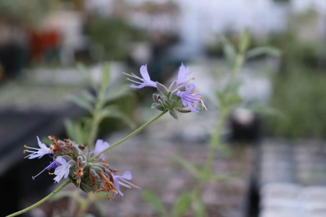 クレベラントセージの花です。