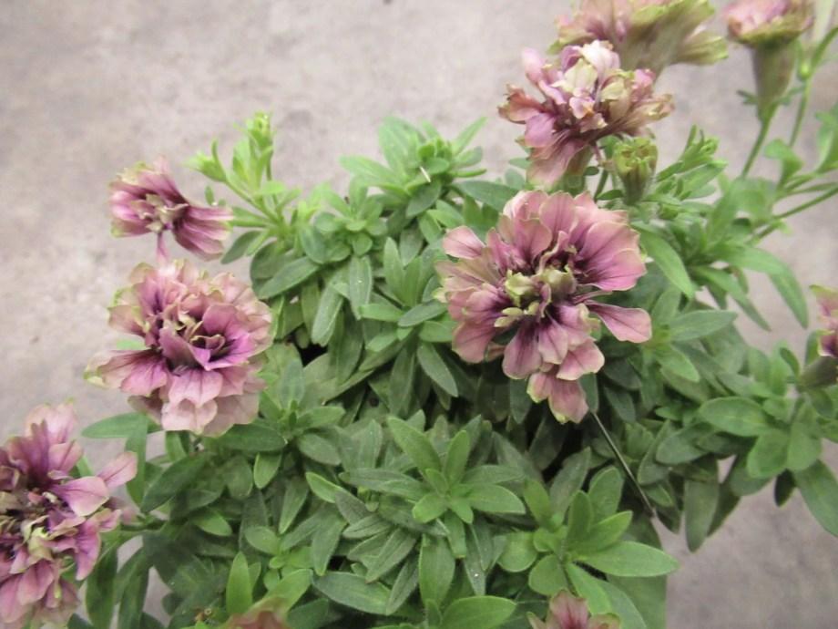 湘南リプル 紫色の花です