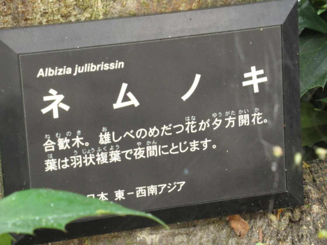 戸田川緑地 ネムノキ
